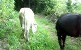yumrutaş yayılımdan dönen inekler