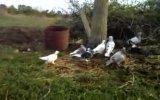 bafralı kuşcular yolcu 4 ortak
