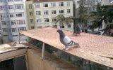 güvercin.taklacı videoları,ferdi bayrak,,05354829474-TRABZONLU
