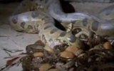 Anakonda doğum yaparken videsu www.erdemcansivas.tr.gg