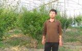 Serada Yeşil Erik Yetiştiricilliği(Can erik ve papaz Erik)