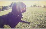 Pug Portresi - GoPro GoPug