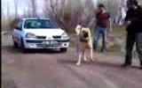 araba çeken kangal
